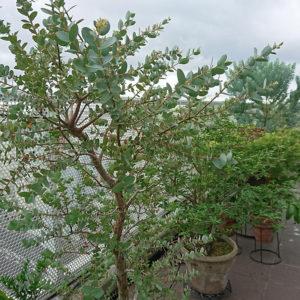 ベランダ植栽1